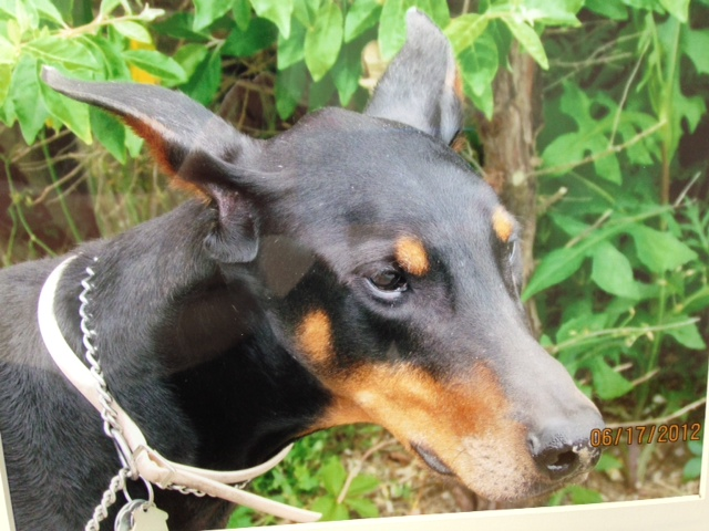 Training Dobermans As Guard Dog