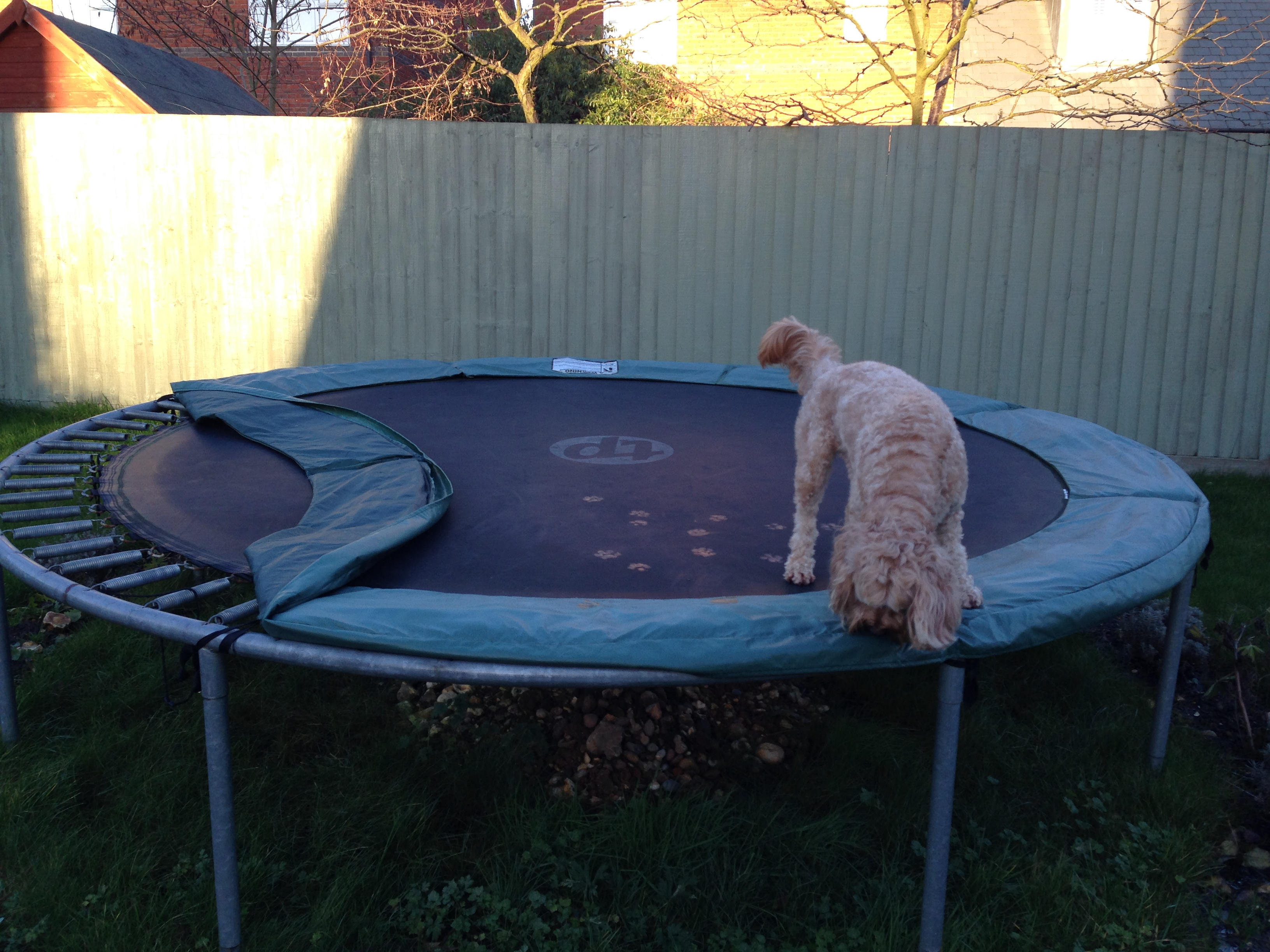 Dog On Trampoline As Has Trump S Face
