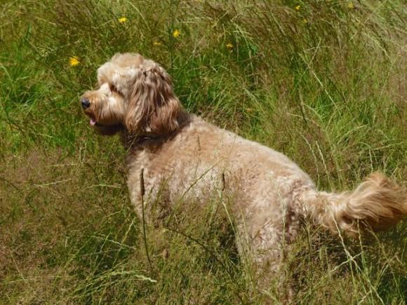 Dog Grooming Sunshine Coast Bc